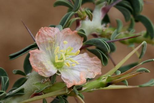Monsonia salmoniflora