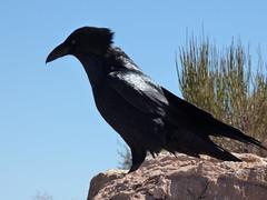 Grand Canyon - South Kaibab Trail, raven at Skeleton Point (2)