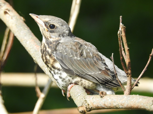 Fieldfare (Turdus pilaris) juvenile