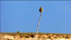 Western Meadowlark perches, sings, flies.