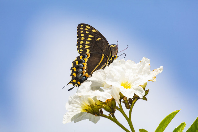 _40A4944 Swallowtail Butterfly