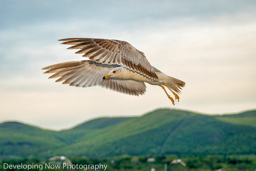 seagull mountains beacon newyork hudsonvalley hudsonriver sky clouds bird bokeh trees nature outdoors
