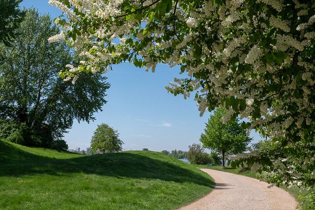 Potsdam, Park Babelsberg: Uferweg unter einer Traubenkirsche - Shore path under a bird cherry
