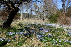 More blue meadows