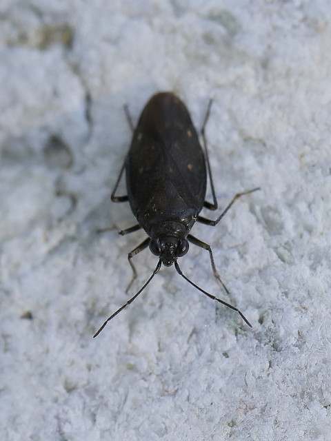Geröll-Hüpferling - Macrosaldula scotica (Saldidae)