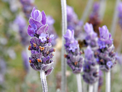 Lavender Edible Flowers to Flavour your Food & Improve your Health (gardeningflavours.com) | by pardeeppatel