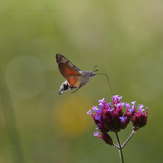 Hummingbird hawk-moth / Moro-sphinx