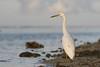 Eastern Reef Egret (Egretta sacra) white morph by patrickkavanagh