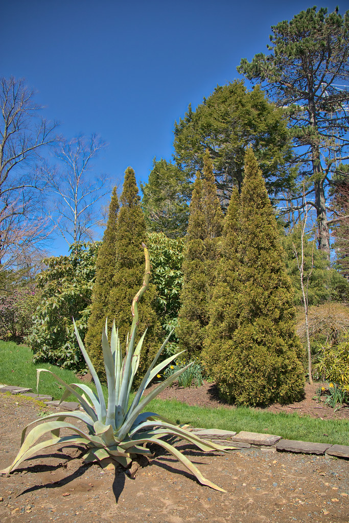Agave Plant At The Halifax Public Gardens, Halifax Nova Sc ...