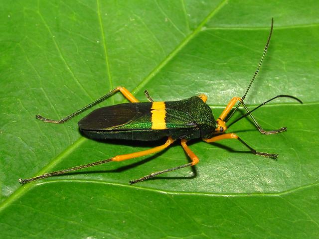 Paryphes flavocinctus (Hemiptera: Coreidae)