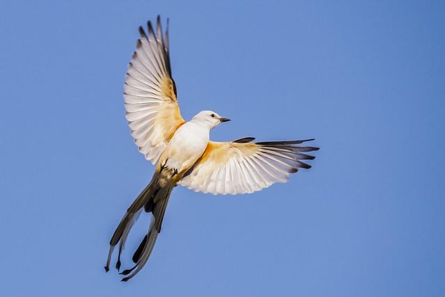 Scissor-tail Flycatcher  in flight  (3 of 3)