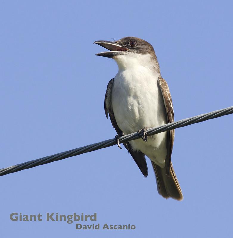 Giant Kingbird, Tyrannus cubensis_199A5563