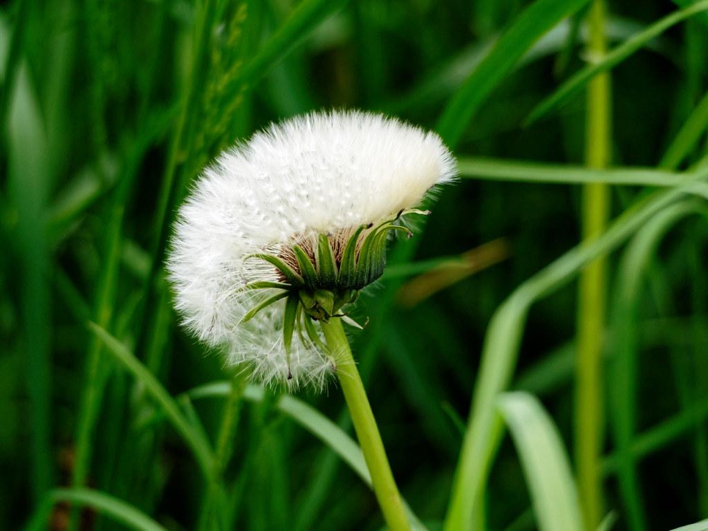 Pusteblume Lowenzahn Mit Irokesen Frisur Jot Ge Flickr