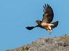 Swainson's Hawk (Buteo swainsoni) by Chub G's M&D