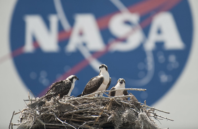 Ospreys at Kennedy Space Center