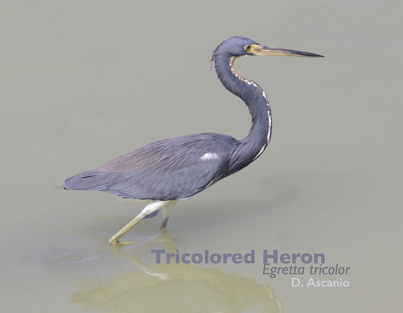 Tricolored Heron, Egretta tricolor_199A2981