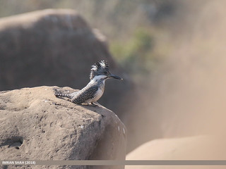 Crested Kingfisher (Megaceryle lugubris) | by gilgit2