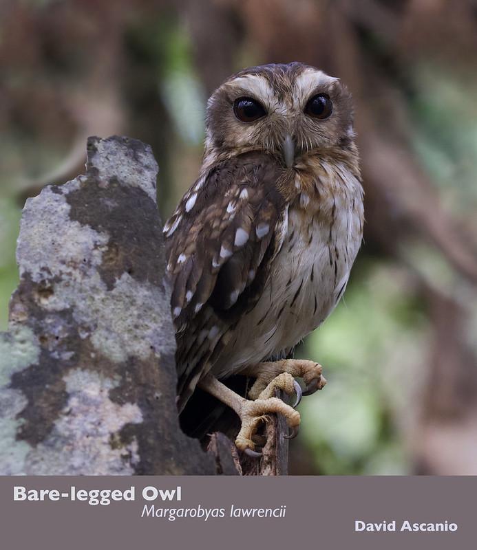 Bare legged owl_Margarobyas lawrencii_199A5127