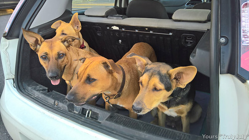 Our 4 puppies settle down in the car boot.
