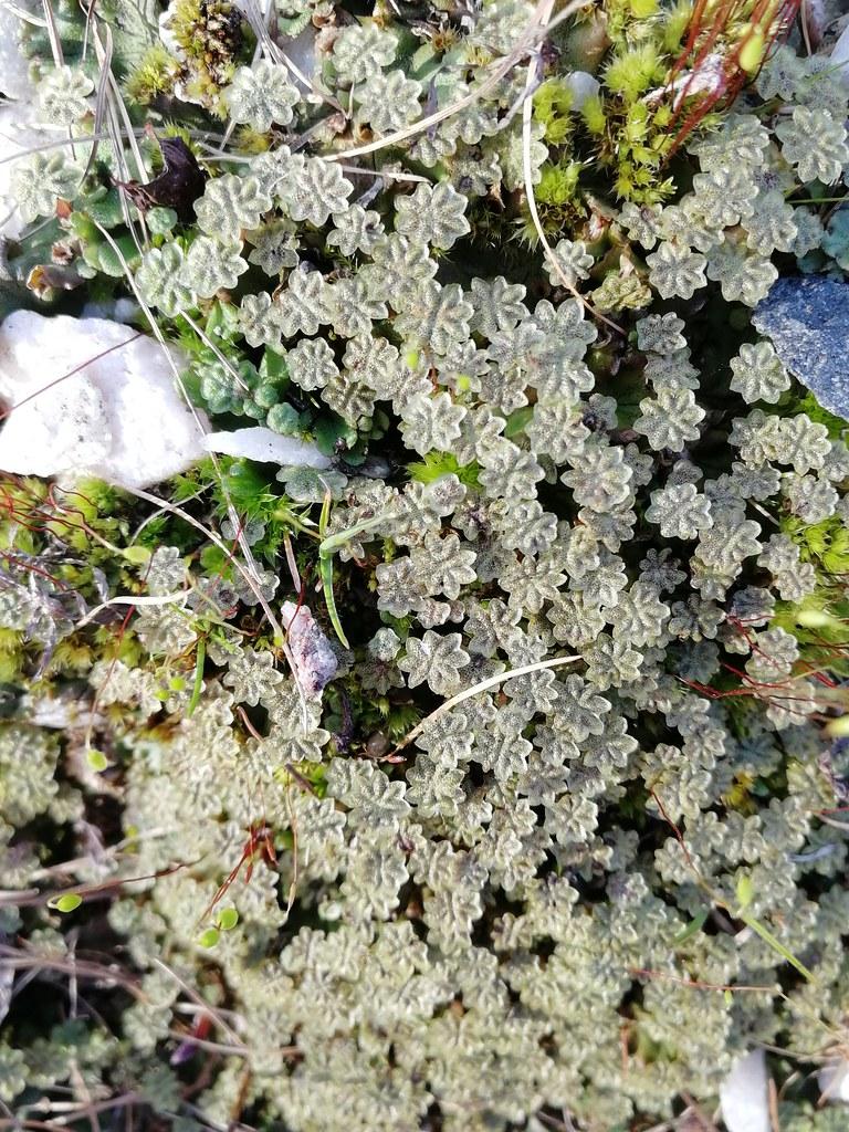 Keuhkosammal (Marchantia polymorpha)