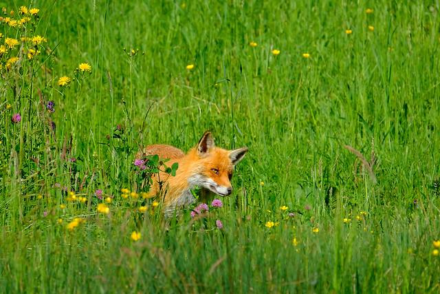 Animal Beauties - The Fox (#3#)