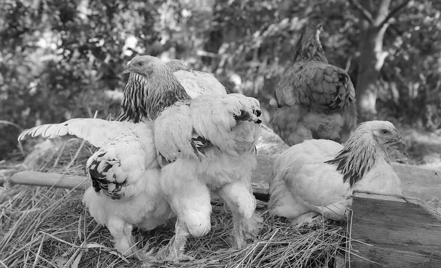 Chickens Of Kyrgyzstan