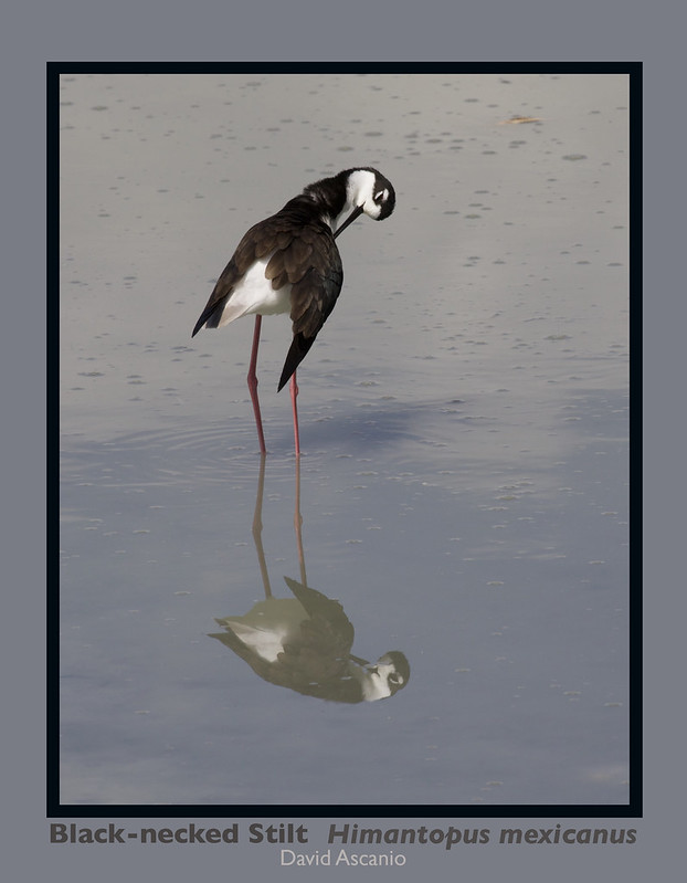 Black-necked Stilt, HImantopus mexicanus_199A3012