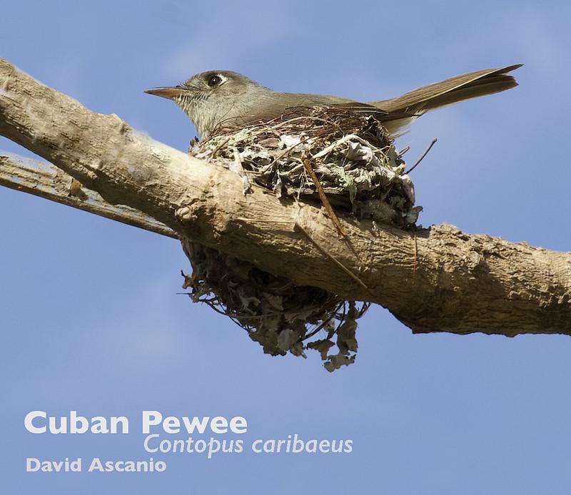 Cuban Pewee, Contopus caribaeus_199A5838
