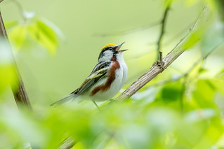 Chestnut sided warbler | by Nature as Art Photography