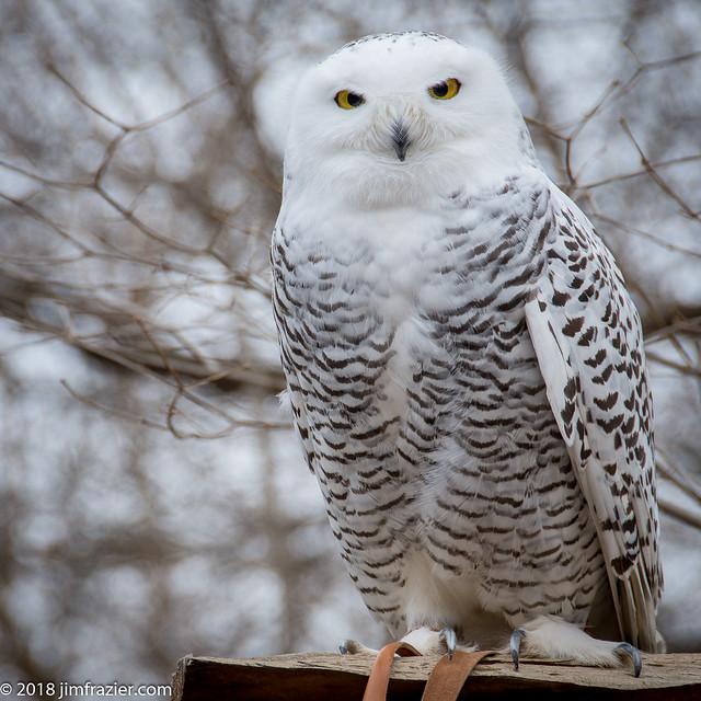 Snowy Owl on a Leash