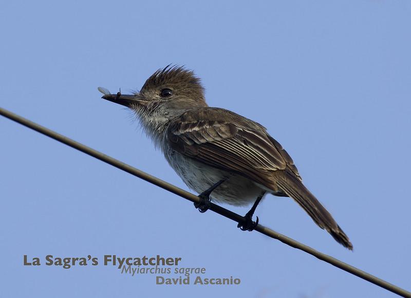 La Sagra's Flycatcher, Myiarchus sagrae_199A5022