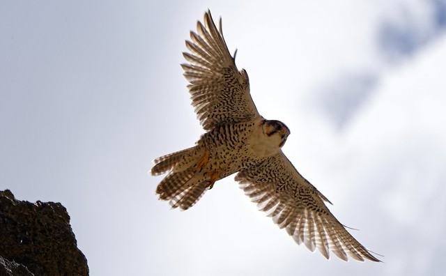 Saker falcon, Tibet 2017