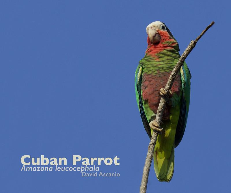 Cuban Parrot, Amazona leucocephala_199A2368