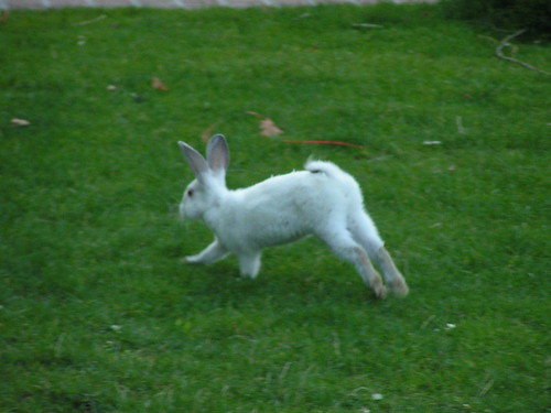 Feral bunny rabbit, Woodland Park, Seattle, 08/17/06   by Mike Baehr