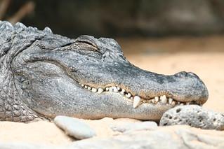 Aligator | by MarinoCarlos
