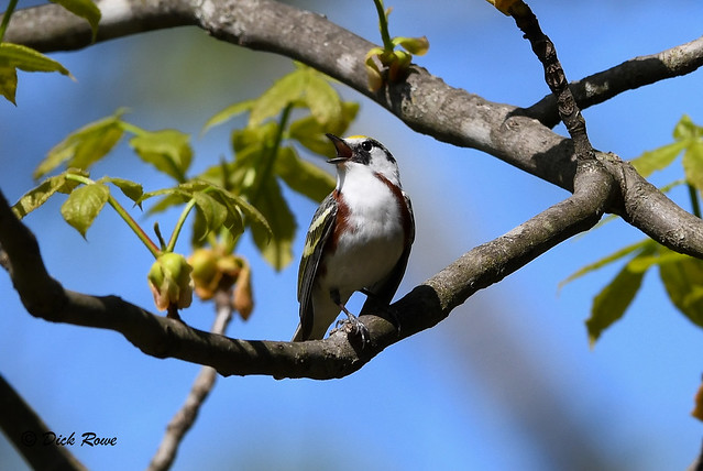 Chestnut-sided Warbler 12 May 18 6