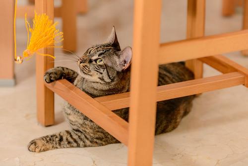 Muffy, gatita parda con toques naranjas pizpireta y activa esterilizada, nacida en Abril´16, en adopción. Valencia. 40421658430_26ce1a7417