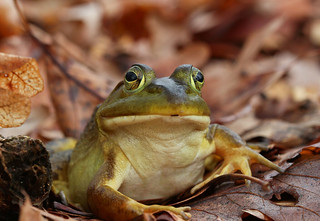 Bullfrog (Lithobates catesbeianus) | by phl_with_a_camera1