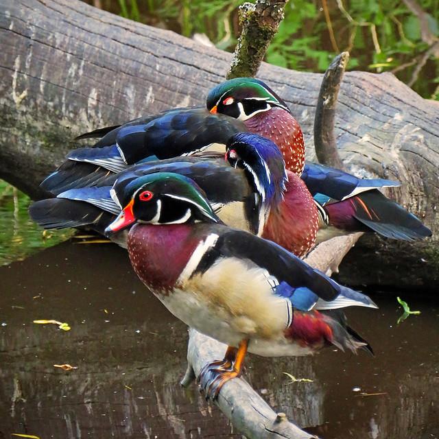 Ducks.  In a row, no less.