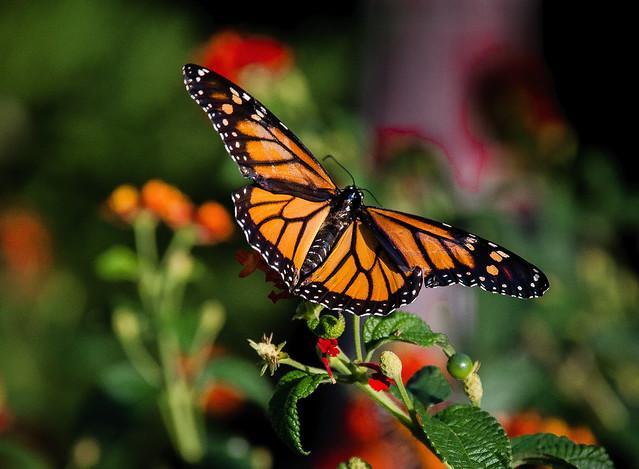 Monarch~
