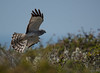 Northern Harrier (Circus cyaneus) by Dude in CA