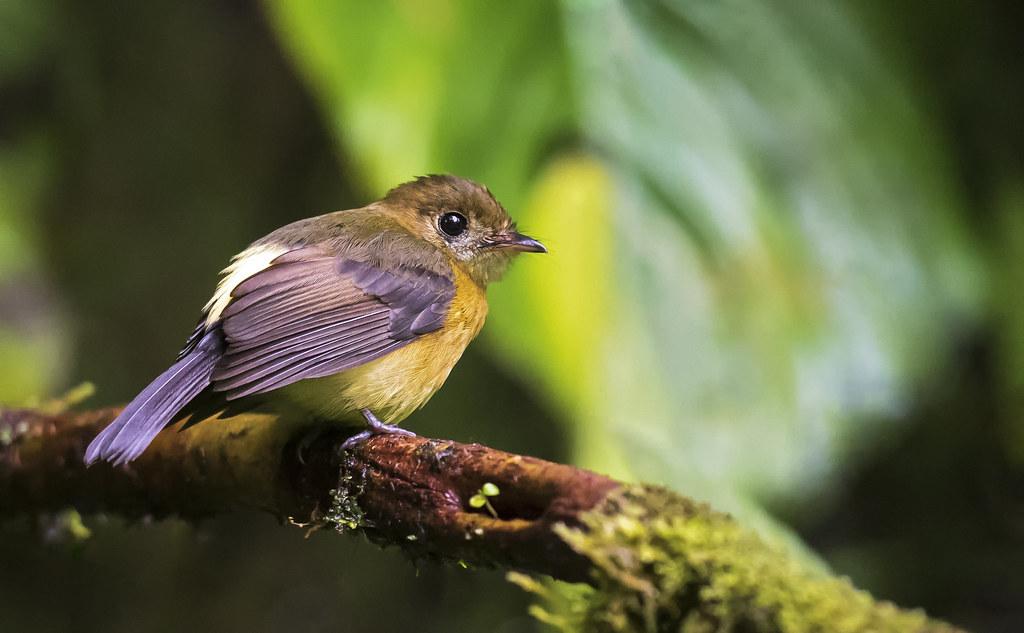 Myiobius barbatus - Whiskered Flycatcher - Moscareta Barbada - Atrapamoscas Bigotudo 01