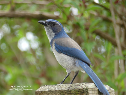california scrubjay mapleridge bc britishcolumbia canada bird jay blue grey gray perch eyebrow californiascrubjay aphelocomacalifornica green wood fence bush branches rarity
