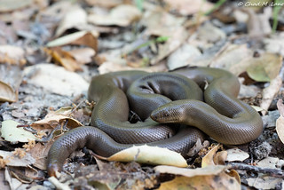 Northern Rubber Boa (Charina bottae) | by Chad M. Lane