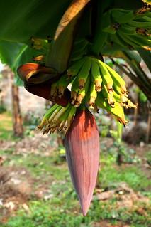 banana   by salazar62