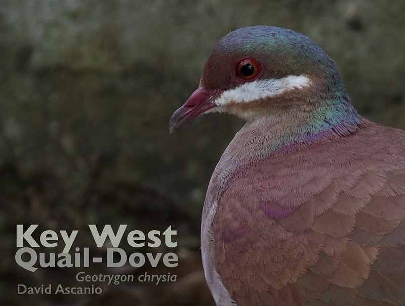 Key West Quail-Dove, Geotrygon chrysia_199A1344