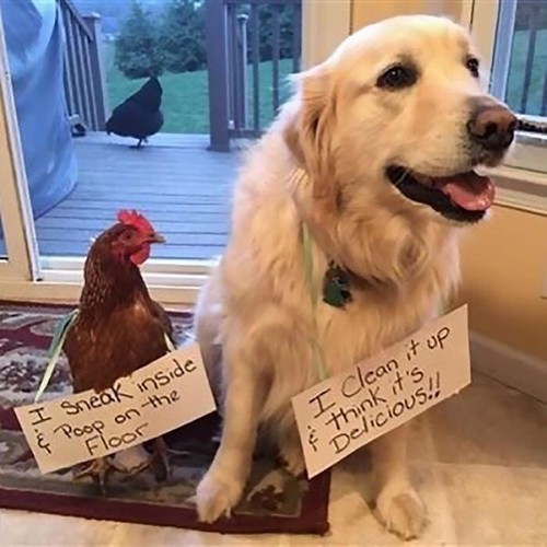45 Funny Chicken Shaming Pictures | by Daily LOL Pics