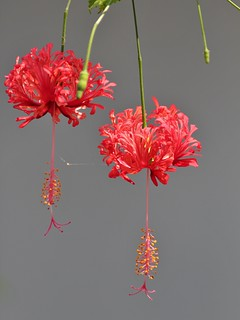 Japanese Lantern Every Flower Must Grow Through Dirt Flickr