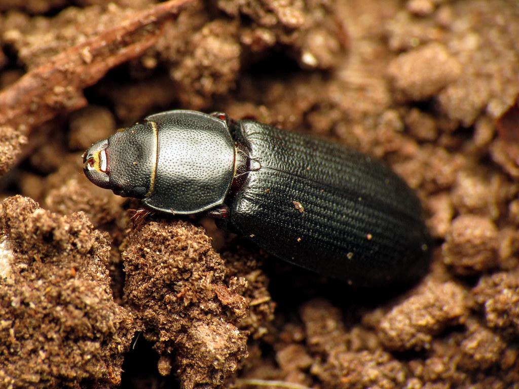 Bark-gnawing Beetle