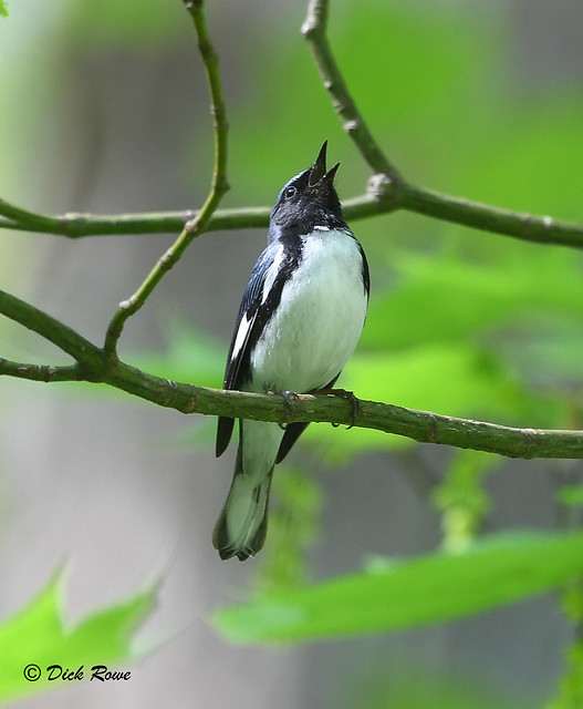Black-throated Blue Warbler 12 May 18 5
